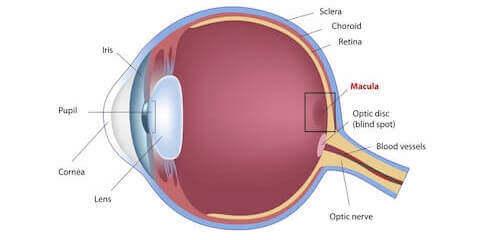 Diagram of Eye Showing Macula